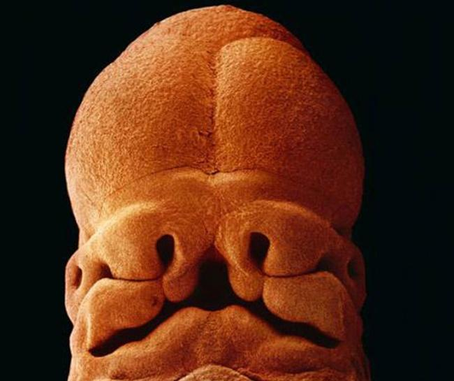 Embrió fejlődése